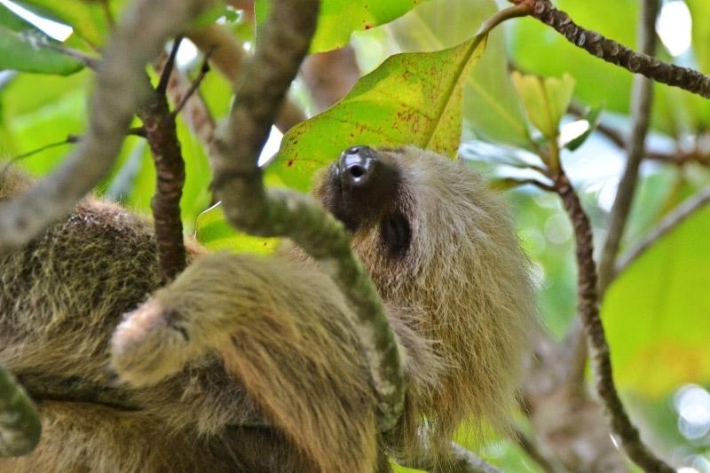 A sloth in Manuel Antonio National Park, Costa Rica